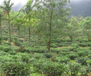 Tea gardens near Ponmudi (Photo: Shyam G Menon)