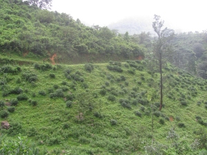 Tea bushes seen lost to weeds and undergrowth on the approach to Bonaccord (Photo: Shyam G Menon)